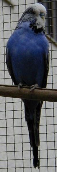 tmavě modrý samec